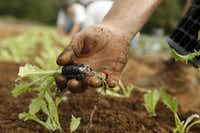 Curly endive is planted at Johnson's Backyard Garden Organic CSA Farm in Denton.(Nathan Hunsinger/Staff Photographer)