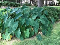 The Colocasia plant, also known as elephant ear, is hardy for North Texas. (Howard Garrett/Special Contributor)