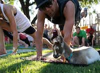 "<p><span style=""font-size: 1em; background-color: transparent;"">Chachi Zavala watches a goat nap on his mat during the first goat yoga class at Eastbound and Down Icehouse in Dallas on June 16, 2017. (Tailyr Irvine/Staff Photographer)</span></p>"