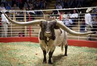 Longhorn Cowboy Tuff Chex, whose horns measure more than 100 inches was sold by Bob and Pam Loomis at auction in the Fort Worth Stockyards for $165,000 on Friday, September 22, 2017.  He is said to be the Guinness record holder for the longest horned bull in history -- eight feet from tip to tip. (Joyce Marshall/jlmarshall@star-telegram)