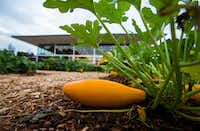 Squash grows in the edible garden. (Ashley Landis/Staff Photographer)