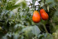 Heinz Super Roma tomatoes grow at the new Tasteful Place edible garden.(Ashley Landis/Staff Photographer)