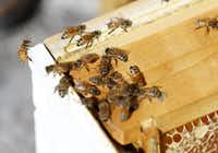 Bees like these have been making life miserable for a Rowlett resident who says several family members and her pets have been stung.(Rose Baca/Staff Photographer)