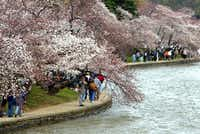 Cherry blossoms emerge each spring around the Tidal Basin in Washington, D.C.(Chuck Kennedy/KRT)