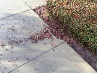 Pine bark mulch will not behave itself: one of the reasons Howard Garrett does not like it.(Howard Garrett/Special Contributor)