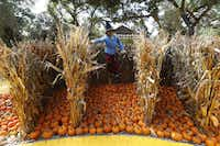 The Scarcrow on the path of The Wonderful Wizard of Oz themed pumpkin garden at the Dallas Arboretum and Botanical Gardens in Dallas on Sept. 21.(Nathan Hunsinger/Staff Photographer)