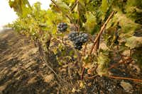 Grapes hang from vines where the flames of a wildfire swept through Monday, Oct. 9, 2017, in Napa, Calif. Wildfires whipped by powerful winds swept through Northern California sending resident on a headlong flight to safety through smoke and flames as homes burned.(Rich Pedroncelli/AP)