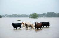 Cattle wee stranded in a flooded pasture on Highway 71 in La Grange after Hurricane Harvey hit.(Jay Janner/Austin American-Statesman)