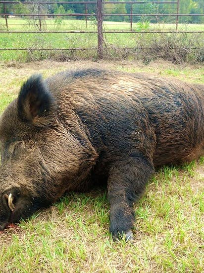 What does it take to kill a 416-pound hog? A Texan and an AR-15