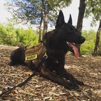"Rayco, a 4-year-old Dutch Shepherd, has been missing since a storm destroyed his kennel Saturday in Wise County. (Facebook/<p><span style=""background-color: transparent; font-size: 1em;"">Sandy and JT Manoushagian</span></p>)"