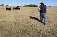 Cade Nichols of A Bar N Ranch walks toward a cattle grazing at the ranch in Sherman.(Louis DeLuca/Staff Photographer)