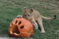 "<p>Animals at the <a name=""firsthit"" id=""firsthit"" style=""""></a>Dallas Zoo celebrated Halloween on Tuesday with pumpkins, some filled with meaty treats or worms. Among the animals enjoying the pumpkins were lion cub Bahati, Ajabu the elephant, meerkats, giant Galapagos tortoises and hippos Adhama and Boipelo.</p>(Courtesy/Dallas Zoo)"