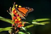 A monarch butterfly finds warmth in the sun on a cool morning on a tropical milkweed plant at Klyde Warren Park in downtown Dallas. (Tom Fox/Staff Photographer)