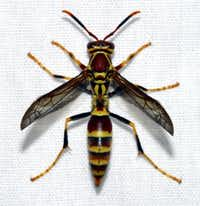 The paper wasp can get into homes through openings like the chimney and soffits. It gives off an odor that attracts other wasps. (Texas A&M AgriLife Extension)