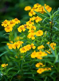Texas tarragon, also called Mexican mint marigold, blooms at Texas A&M AgriLife Research Center in Dallas.(Ashley Landis/Staff Photographer)