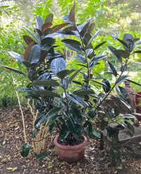 <i>Ficus elastica</i> is a species of plant in the fig genus. (Howard Garrett/Special Contributor)