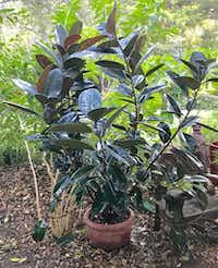 <i>Ficus elastica</i>is a species of plant in the fig genus.(Howard Garrett/Special Contributor)