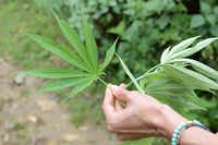 Marijuana leaves(Dreamstime/TNS)