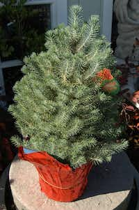 Italian stone pine can be purchased as potted plant.(Howard Garrett/Special Contributor)