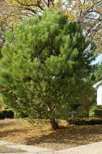 Italian stone pine after changing foliage (Howard Garrett/Special Contributor)