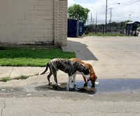Two stray dogs drink from a puddle on Jamaica Street at Second Avenue in southern Dallas in 2016.(DMN file photo)