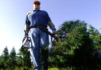 In this recent photo, Don Kachtik, owner of the K&K Evergreen Farm outside of Orange, Texas, carries another cut tree to his wagon from his field for an early customer who was on her way to Dallas. K&K recently announced on its Facebook page that the family business was closing after 40 years because of Tropical Storm Harvey and last year's Sabine River flooding.  (Dave Ryan/The Beaumont Enterprise via AP)(Dave Ryan/AP)