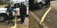 DeSoto Animal Control officers pose with a giant albino python found dead Saturday on Plaza Road.(DeSoto Police Department)