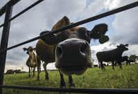 How now, brown cow? A bovine looks into the camera while the rest of the herd grazes in a pasture at Golden Farms in Celina.(Ryan Michalesko/Staff Photographer)