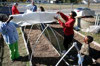 Volunteers Florence Hawkins-Criss, (from left) Jason Redick, Daniel Cunningham, Mayra Fierro, Dani Alexander and D.J. Williams put up a garden cover using PVC pipe at Sunny South Community Garden in Dallas.(Nathan Hunsinger/Staff Photographer)