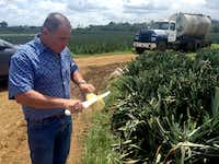 Luis Barrantes Quesada, Del Valle Verde president, slices a pineapple that he says is organic, plucked from a field that supplies the company's packing house and export processing plant near Pital, Costa Rica.(Richard Read/NerdWallet)