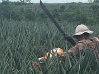 <p>A farmworker in a Costa Rican organic pineapple field.</p>(NerdWallet/Richard Read)