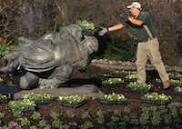 Horticulture supervisor Kevin Thompson helps the Dallas Arboretum and Botanical Garden's staff plant on Thursday.(Louis DeLuca/Staff Photographer)