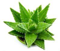 Aloe vera plant(iStock)