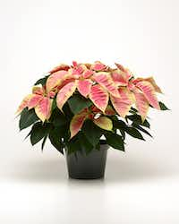 Poinsettia Christmas Beauty Marble from Ball Horticultural(Ball Horticultural)
