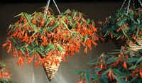 Begonia Bonfire Orange from Ball Horticultural(Ball Horticultural)