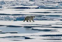 A polar bear walks over sea ice floating in the Victoria Strait in the Canadian Arctic Archipelago.(File Photo/The Associated Press)