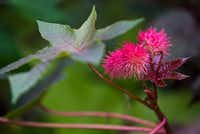 A castor bean plant blooms in Leslie Eaton's East Dallas garden.(Ashley Landis/Staff Photographer)