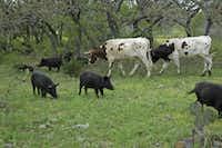 Feral hogs mingle with longhorn cattle on Debbie Davis' ranch in Tarpley in South Texas.(Courtesy Debbie Davis/DMN file photo)