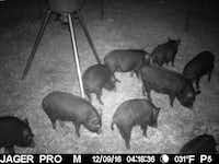 Trapped feral hogs in a photograph provided by the city of Dallas.  The city has had some success with its trapping pilot program on city property.(City of Dallas)