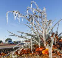 Icicles hang from a bush after a sprinkler system went off in the 4700 block of South Cooper Street in South Arlington on Monday.(Ron Baselice/Staff Photographer)