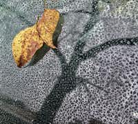 A leaf sticks to frozen water droplets on Sunday afternoon in Dallas.(Irwin Thompson/Staff Photographer)