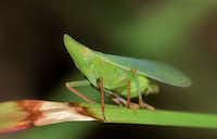 Leafhopper(Brett Hondow)
