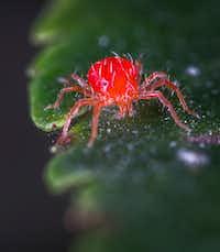 Spider mite(Egor Kamelev)