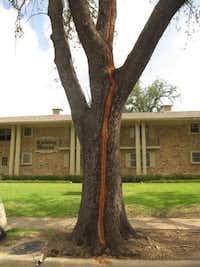 Lightning damage to a tree(Howard Garrett/Special Contributor)
