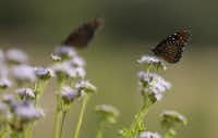 Butterflies rest on Gregg's mistflower at the Lady Bird Johnson Wildflower Center in Austin. (Eric Gay/The Associated Press)