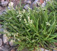 Poa annua winter weed (Howard Garrett/Special Contributor)