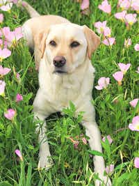 A photo of Macy, the retired service dog who trainers say was pepper-sprayed in the face.(Shoshana Tanner)