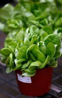 Arctic King Lettuce for sale at North Haven Gardens in Dallas. (Stewart F. House/Special Contributor)