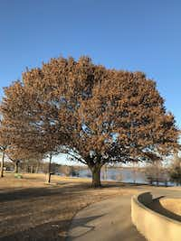 Red oak tree with marcescence(Howard Garrett/Special Contributor)