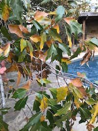 Semi-deciduous Canby oak foliage(Howard Garrett/Special Contributor)